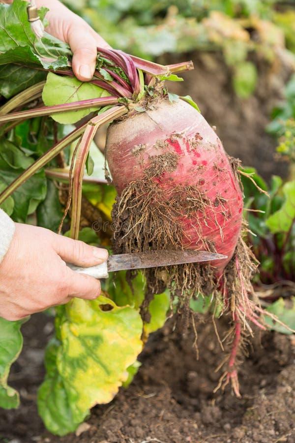 Download Beetroot stock photo. Image of healthful, beet, earthy - 26945328