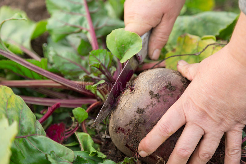 Download Beetroot Royalty Free Stock Images - Image: 26945329