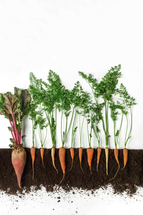 Beetroot and carrot. Growing plant isolated on white background. Beetroot and carrot grow in ground, cross section, cutout collage. Healthy vegetable plant with stock photography