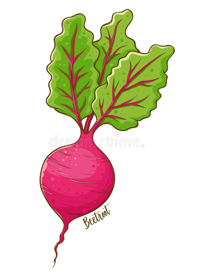 Beetroot Fresh Natural Vegetable. Beetroot fresh and natural vegetable, hand drawn vector illustration isolated stock illustration
