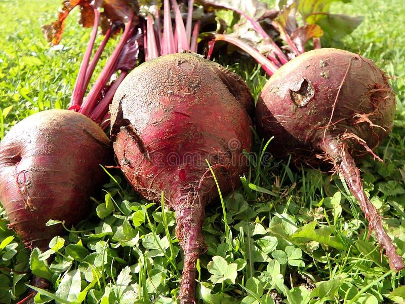 Beetroot in the garden Beta vulgaris table, garden, sugar, red, dinner or golden beet.  royalty free stock photos