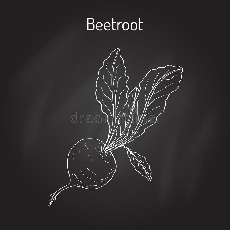 Beetroot with green leaves. Vector illustration royalty free illustration