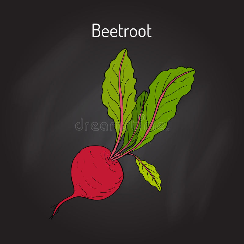 Beetroot with green leaves. Vector illustration stock illustration