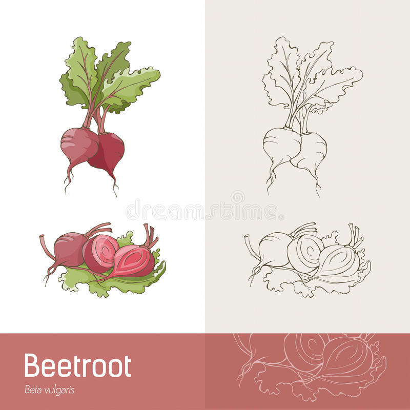 Beetroot. Hand drawn botanical sketch of beetroots, roots and leaves royalty free illustration