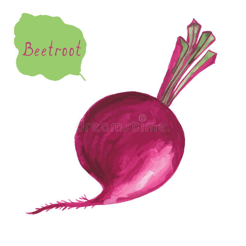 Beetroot. Hand drawn watercolor painting on white. Beetroot isolated on white background. Hand drawn watercolor painting on vector illustration royalty free illustration