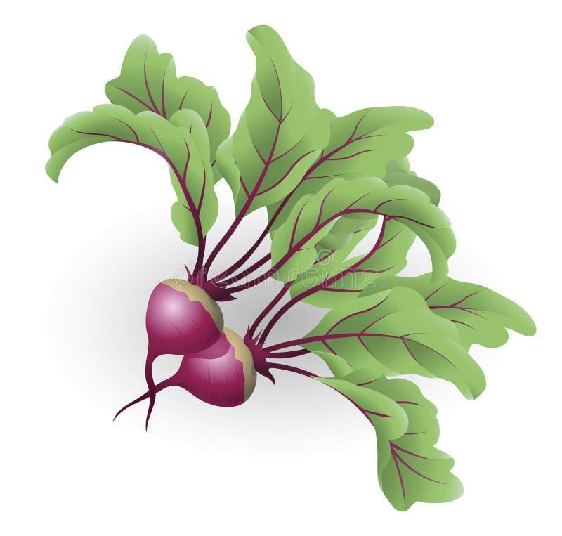 Beetroot illustration. An illustration of two beetroot aka table beet, garden beet, red beet or beet royalty free illustration