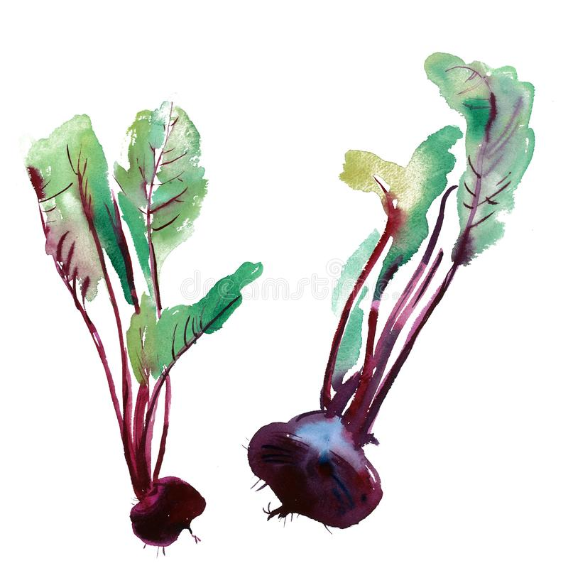 Watercolor illustration of beetroot, banner with beetroot, Beet. Beetroot with leaves, banner with beetroot, fresh beet isolated, set beets, food ingredients stock illustration