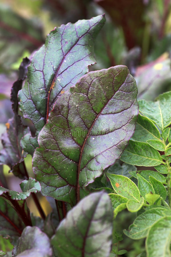 Beetroot leaves royalty free stock images