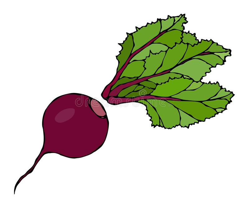 Beetroot with Leaves, Beet With Separated Top. Fresh Vegetable Salad. Hand Drawn Vector Illustration. Savoyar Doodle Style. Beetroot with Leaves, Beet With stock illustration