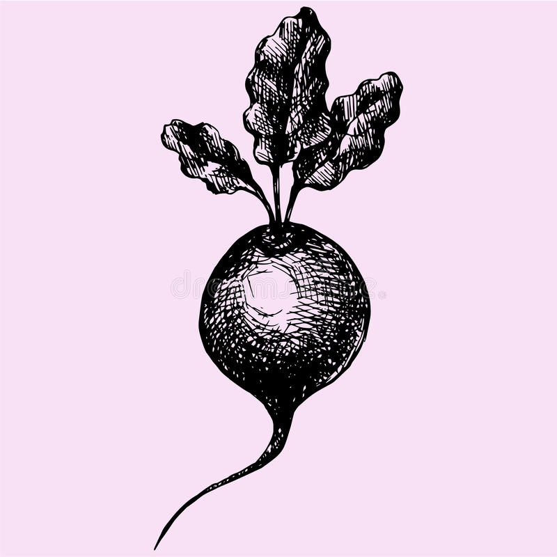 Beetroot. With Leaves doodle style sketch illustration hand drawn vector vector illustration
