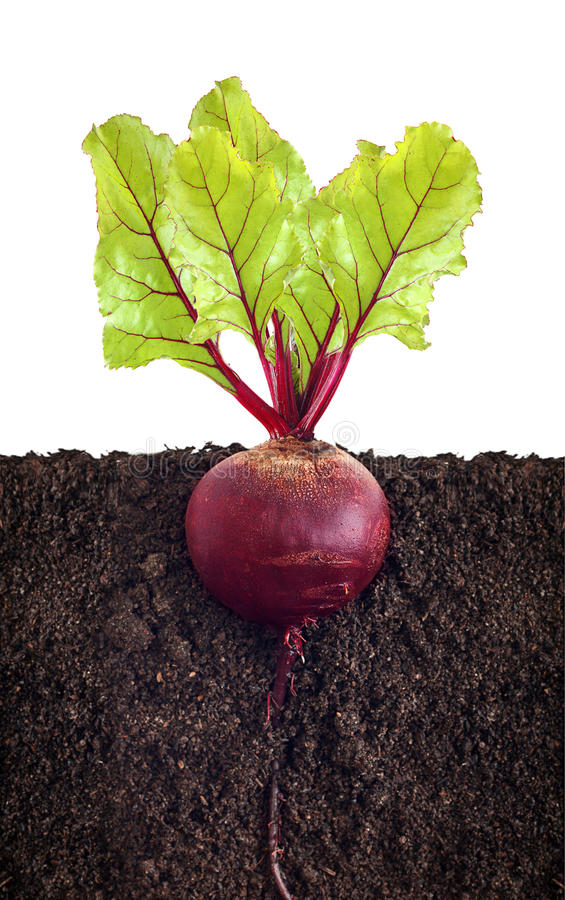 Download Beetroot with leaves stock image. Image of ingredient - 33404289