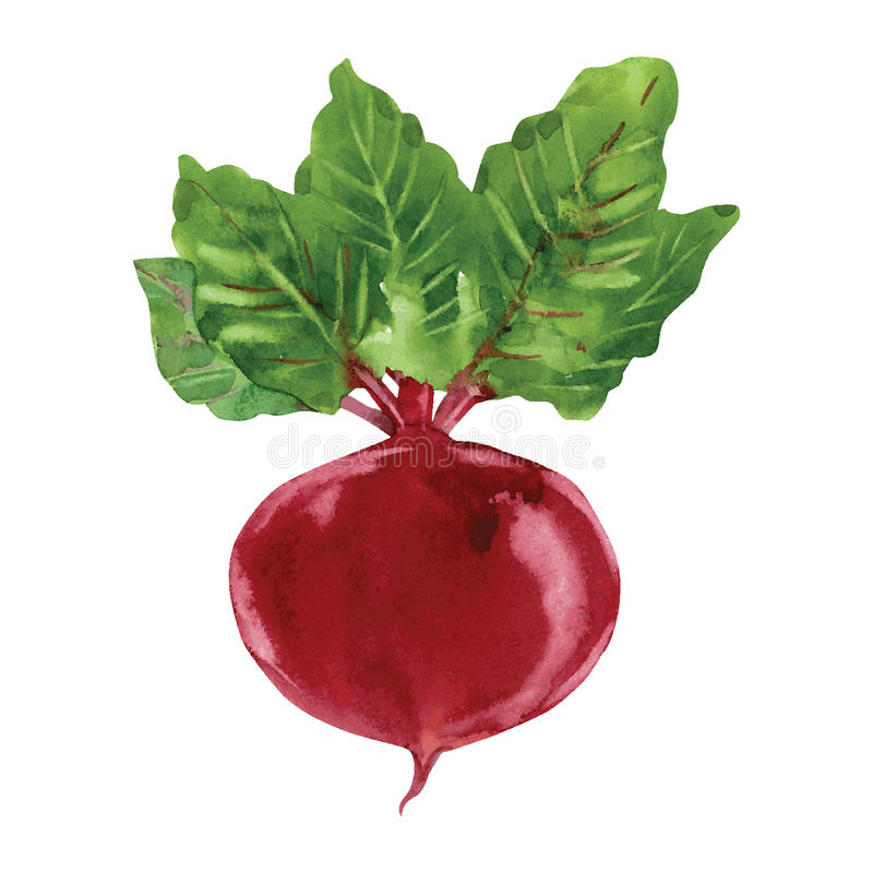 Beetroot with leaves vector illustration