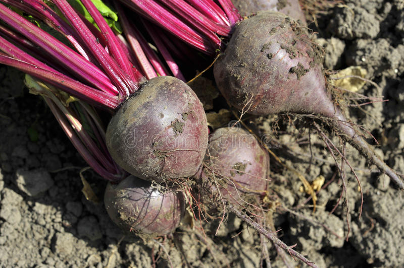 Beetroot. Lifted red beets or beet roots in the vegetable garden.Variety Boltardy royalty free stock photography