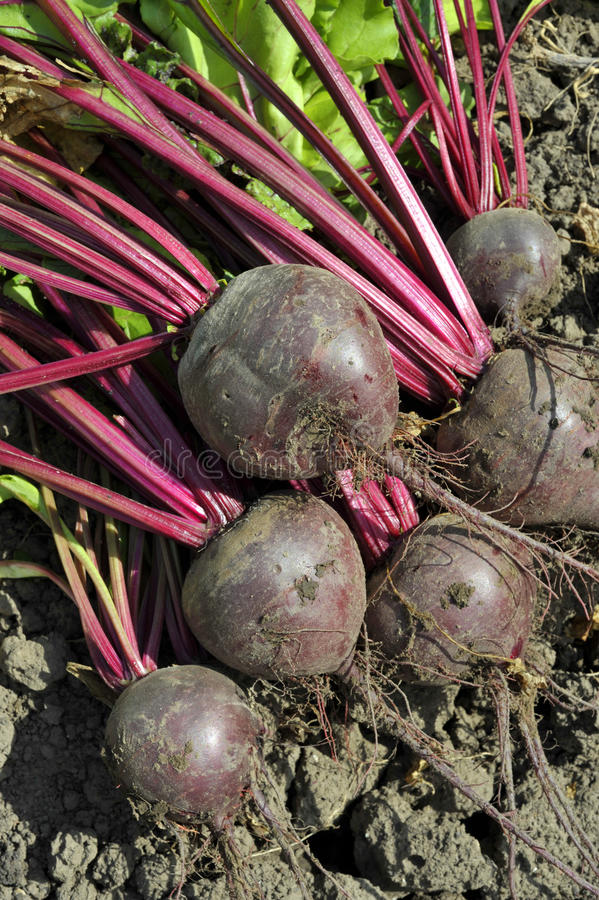 Beetroot. Lifted red beets or beet roots in the vegetable garden.Variety Boltardy royalty free stock images