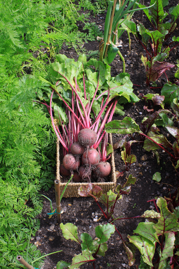 Beetroot in Vegetable Patch stock images