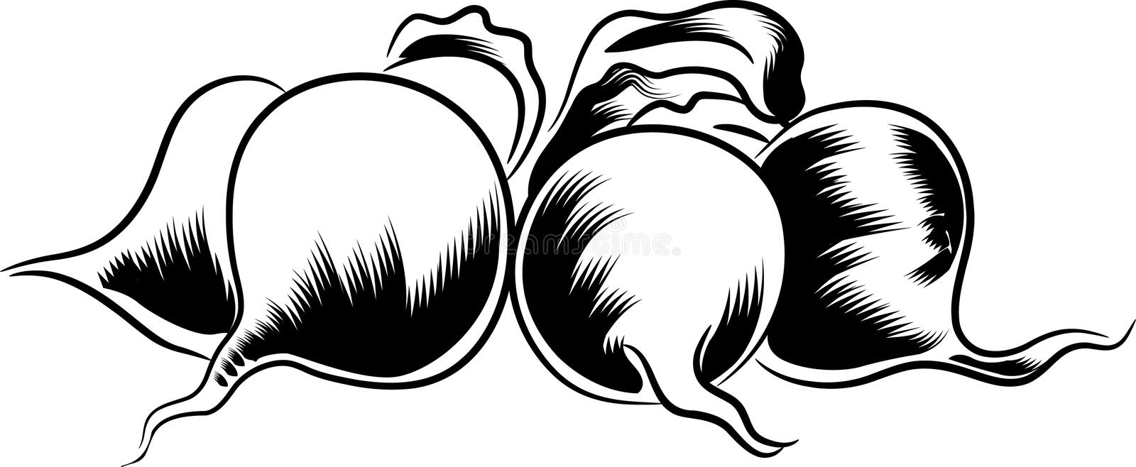 Beetroots. The beetroots clip art on white background royalty free illustration