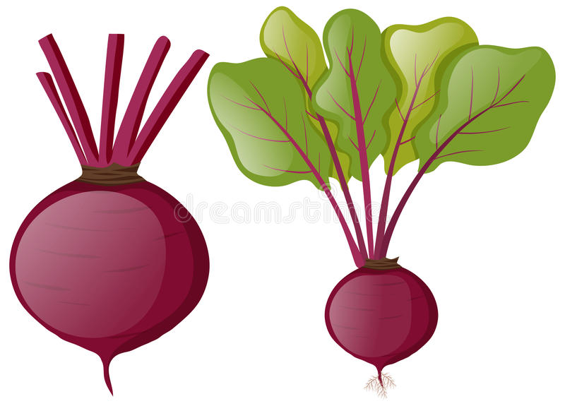 Beetroots with green leaves. Illustration stock illustration