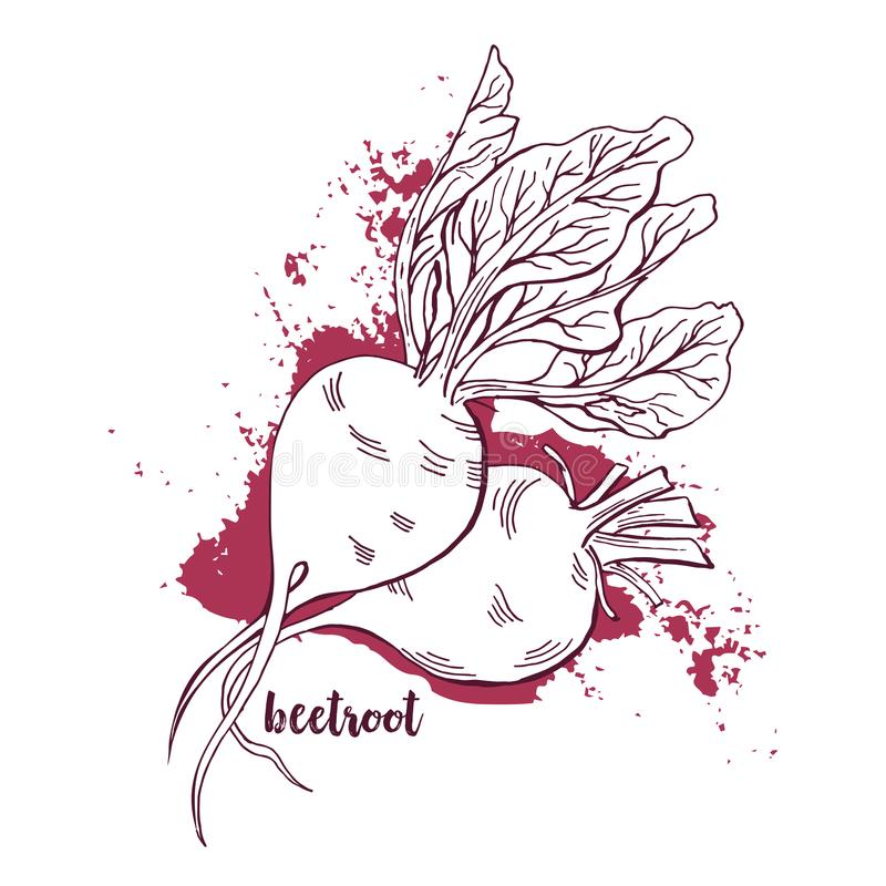 Beetroots Watercolor. Hand Drawn Vegetables, White Background. Artistic Vector Illustration. Beetroots Watercolor. Hand Drawn Vegetables On White Background vector illustration