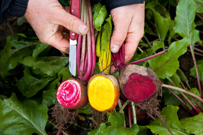 Beets of various colors royalty free stock photography