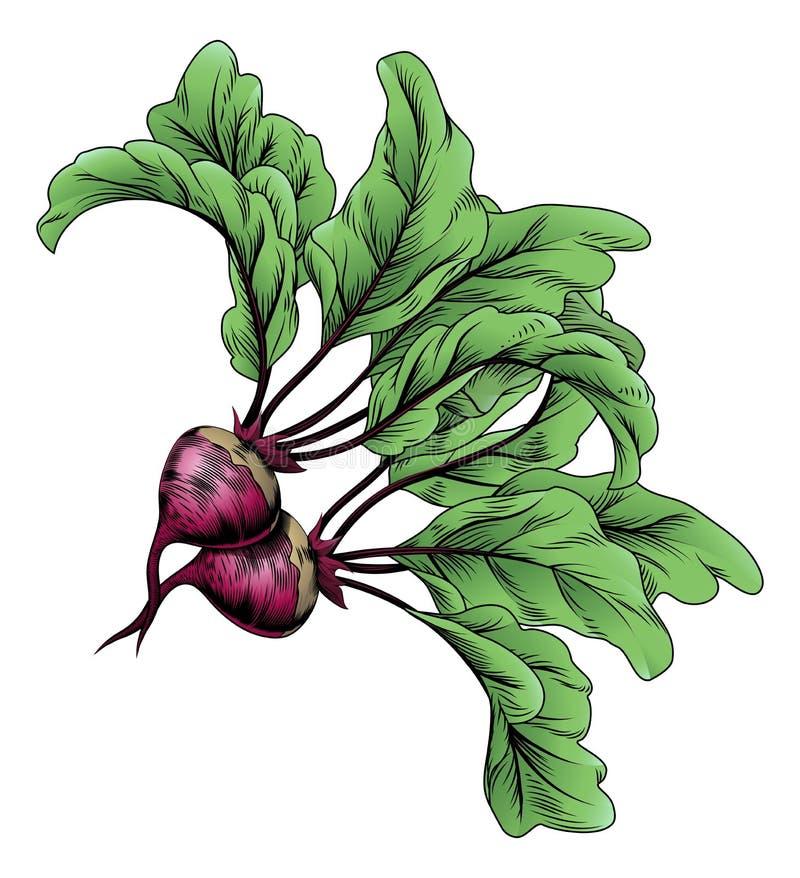 Beets vintage woodcut illustration. A beets vintage woodcut illustration in a vintage style stock illustration