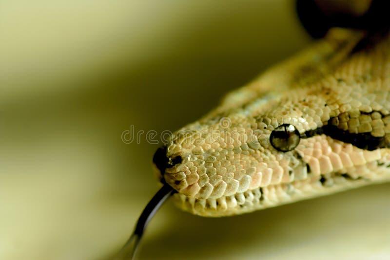 Befürchten Sie die Augen einer Schlangenzunge lizenzfreie stockbilder