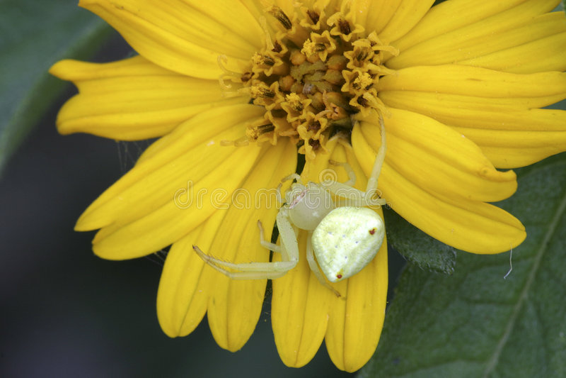 Befestigungsklammer-Spinne lizenzfreie stockfotografie