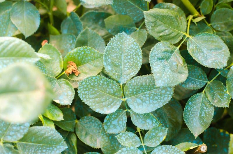 Befruchtend für Rosen, benutzen die Bäume, Anlagen von den Schadinsekten behandelnd, flüssige Fütterung, Handsprüher mit Schädlin stockfotos