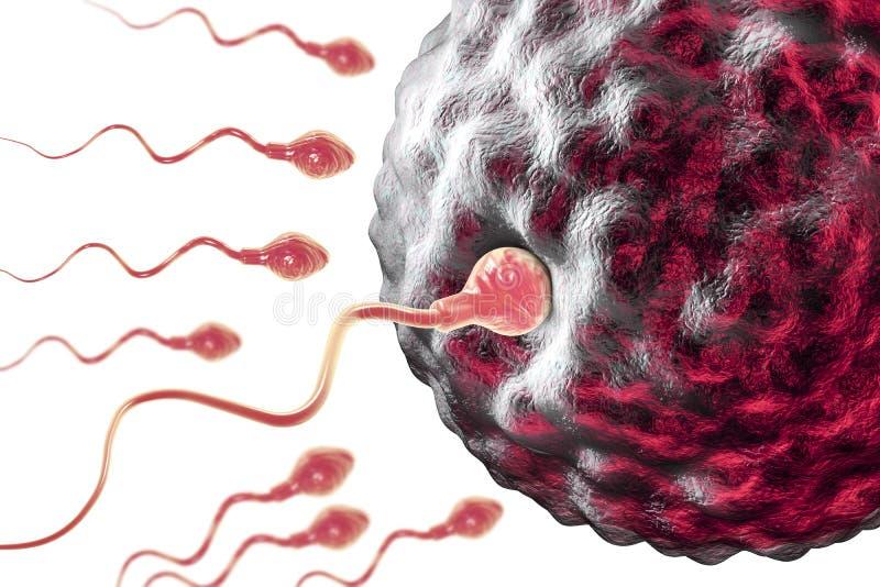Befruktning av cellen för mänskligt ägg vid spermatozo stock illustrationer