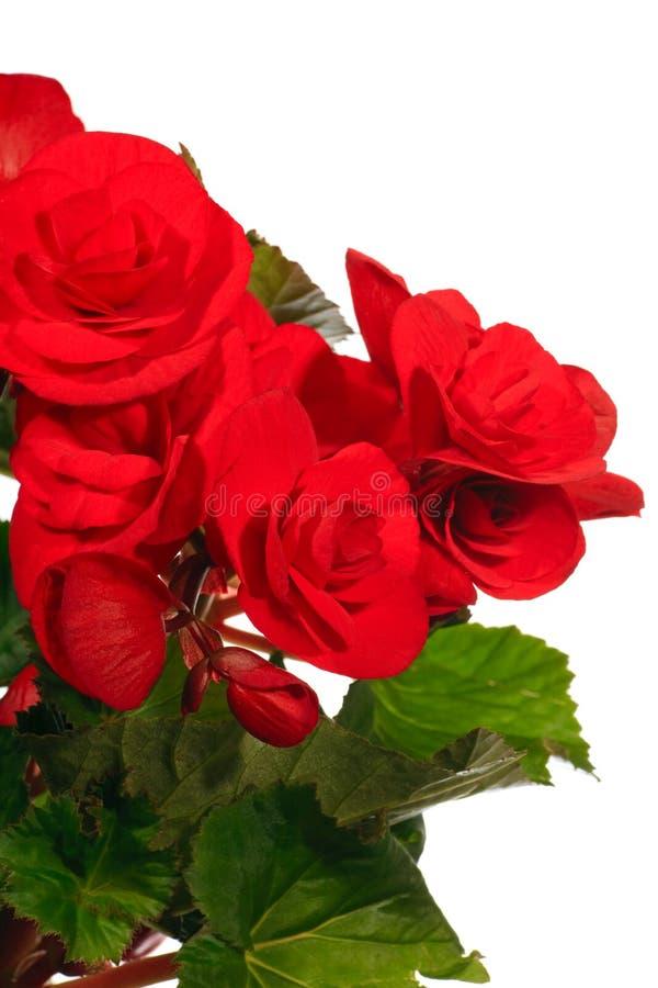 Begónia Home da planta no fundo branco imagem de stock royalty free