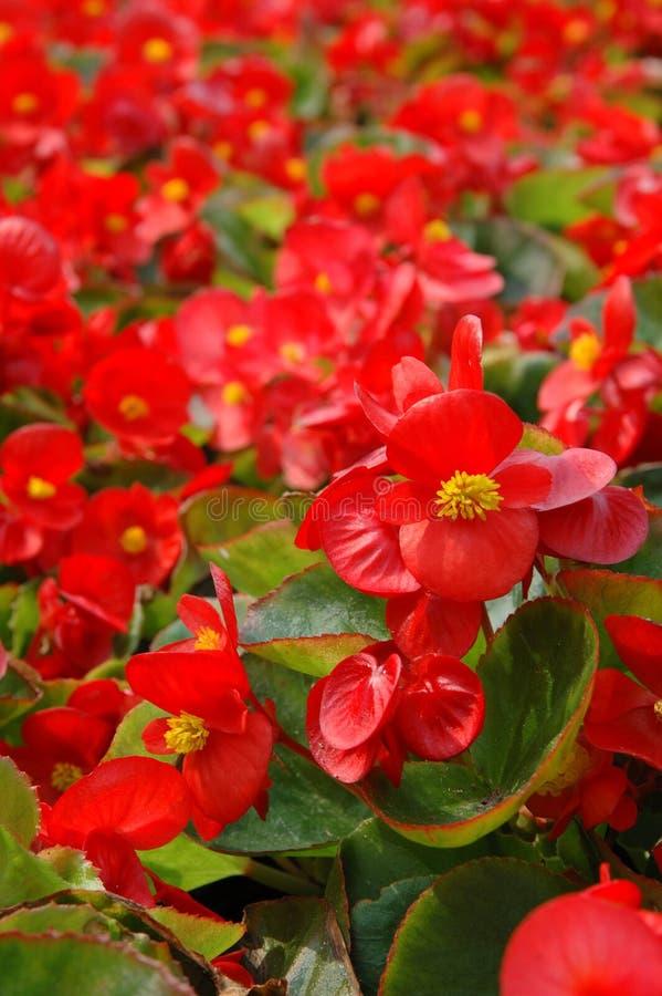 Begónia vermelha fotos de stock