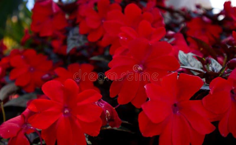 Begônia vermelha que cresce em Vietname foto de stock royalty free