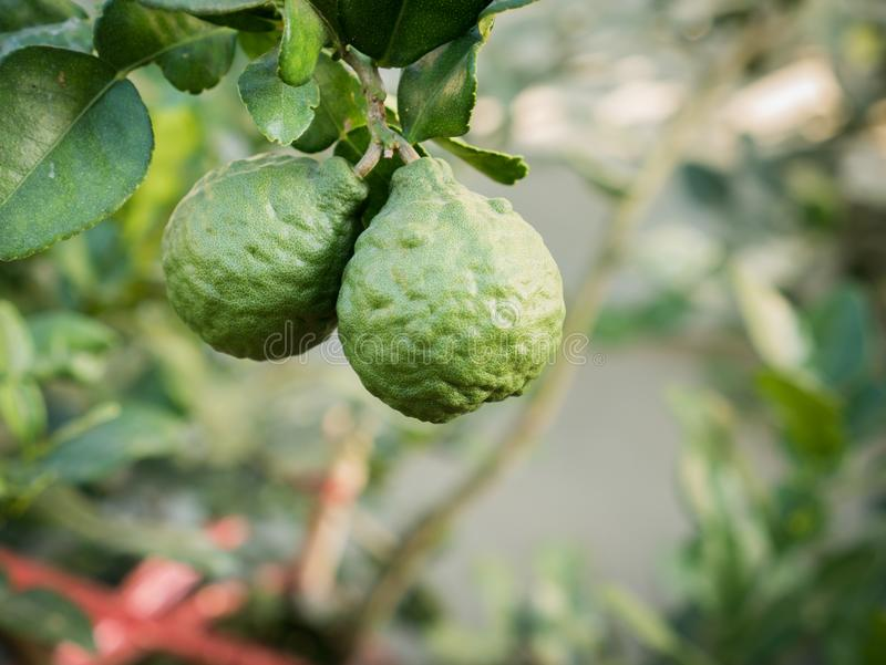Begamot Fruits Hanging in The Field stock photo