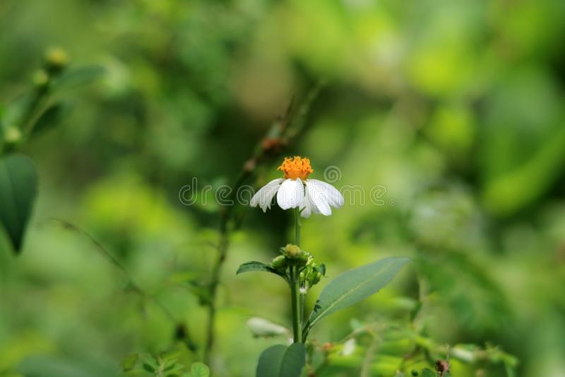 Beggar`s needle daisy-like sole flower. Small Florida wild weedy flower, white petals and yellow center. humble beggar's needle, Bidens alba. macro stock photography