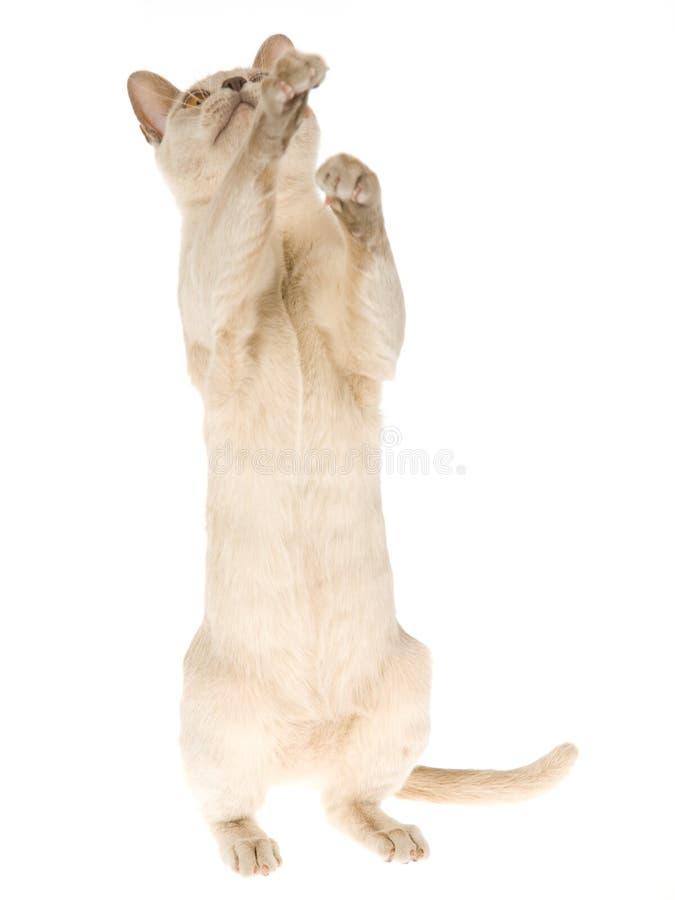 Begging Burmese kitten, on white background stock photo