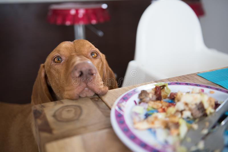 Begging dog in kitchen stock photos