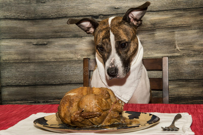 Begging for the Holiday Feast. A cute dog begging for food at the dinner table stock photography
