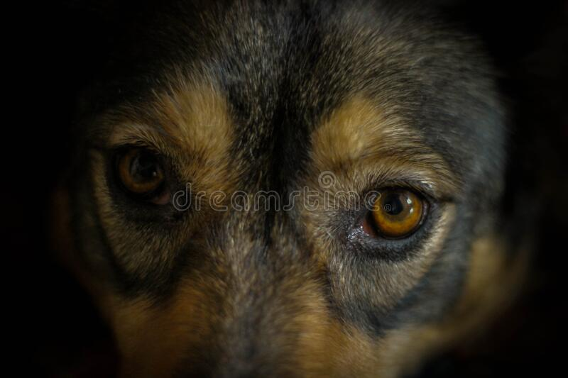 Begging is a home dog against a dark background. Innocent looking animal The dog`s eyes in close-up. Selective focus.  stock photography