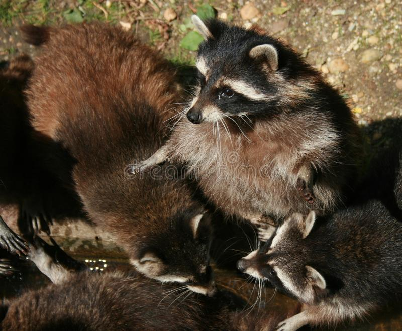 Begging raccoon royalty free stock photo