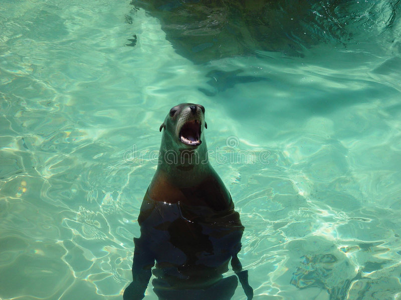 Download BEGGING SEAL stock photo. Image of sunny, hungry, mammal - 187688