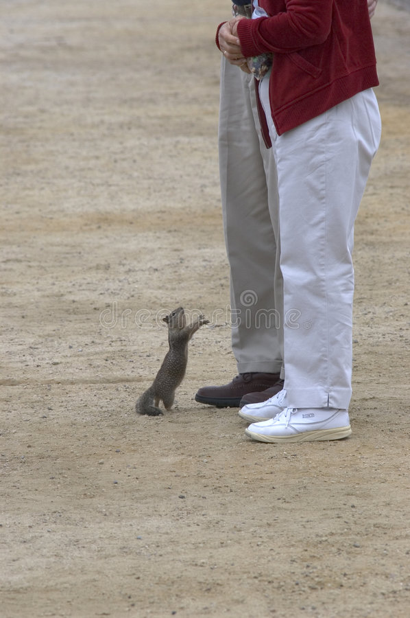 Begging squirrel. A squirrel begs for food from a couple tourists on the beach stock photo