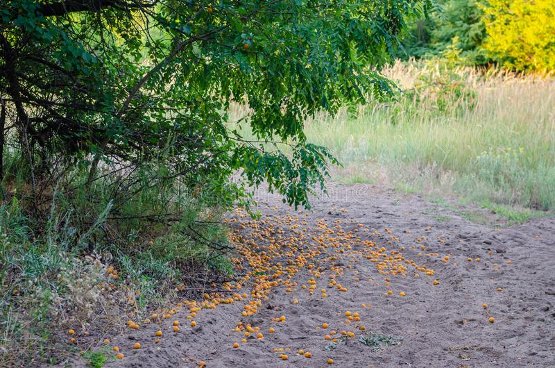 Ripe apricots fell to the ground from the tree. A lot of fruit lies on the ground. stock images