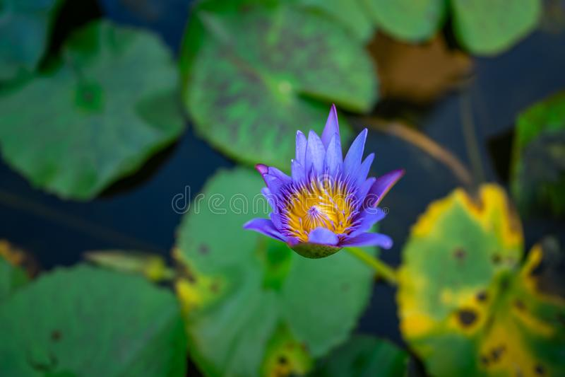 Begin om Blauw te bloeien Lotus stock afbeelding
