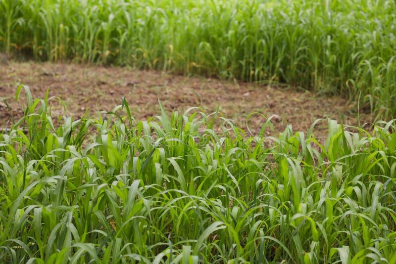 Beginnen Sie die Ernte der grünen Zufuhr in der Viehbestandzufuhr stockbilder