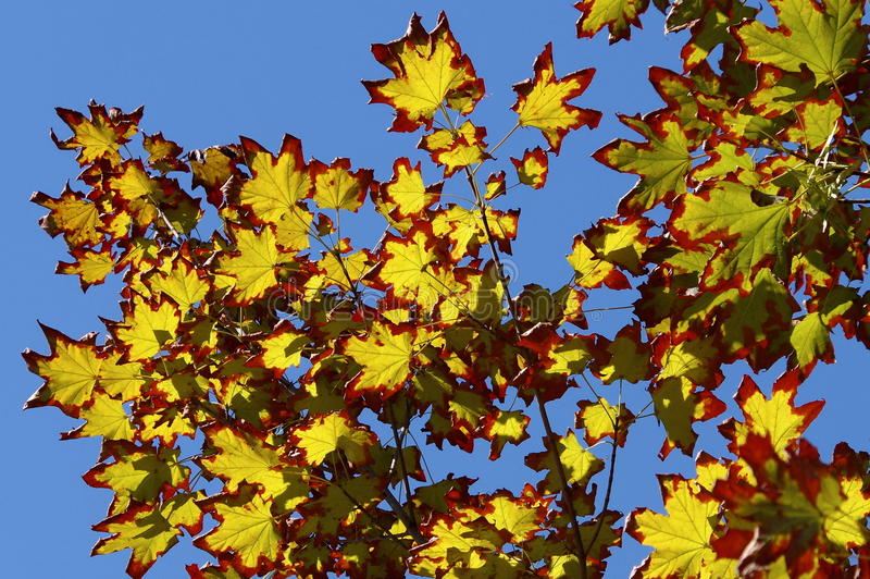 Colors of autumn in a landscape. Colored leaves in sunlight and blue sky in background. Colored rusty leaves in sunlight and blue sky in background. Colors of stock photos