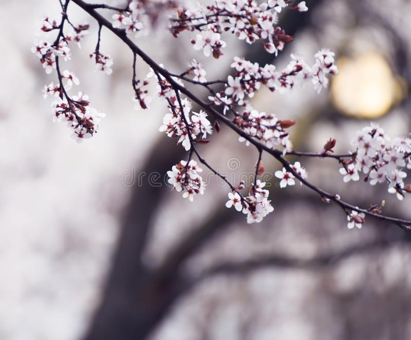 The beginning of flowering cherry tree. Opening wonderful tender first flowers. artistic photo. royalty free stock photos