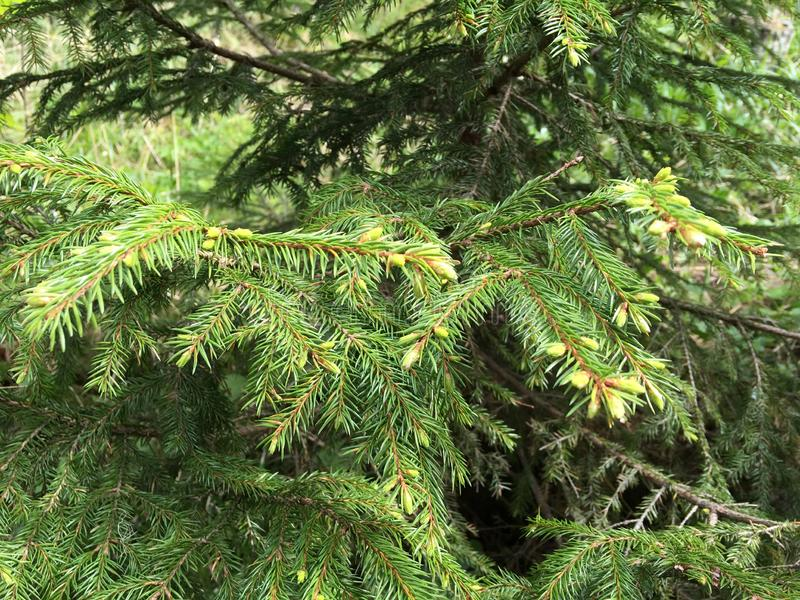 Beginning of flowering of the fir in spring, the beauty of nature. royalty free stock image