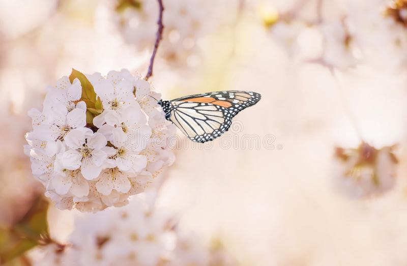 The beginning of flowering sweet  cherry tree and butterfly. Magical photo.  artistic photo. Selective soft focus. stock images