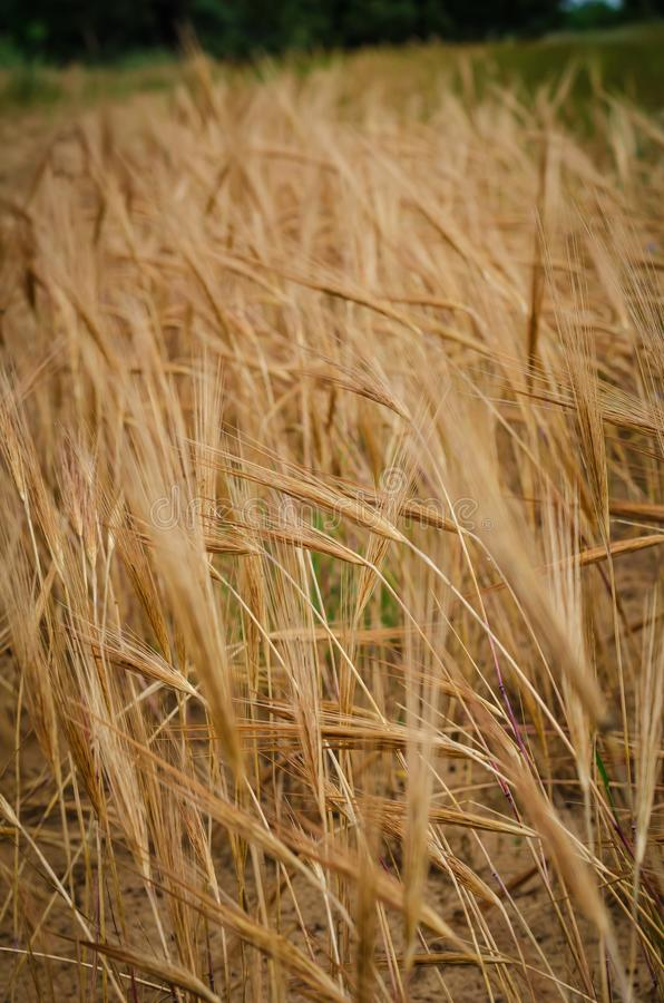 Barley spike ripened on the background of a yellow field. Macro. royalty free stock photo