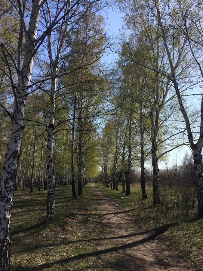 The beginning of spring. How does the birch look like birchwood in the spring.singing birds complements this beautiful view stock photography