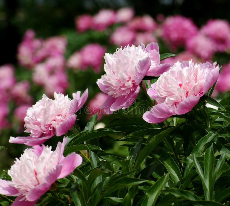 The beginning of the summer gives us the trouble to observe the flowering of peonies. royalty free stock images